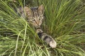 Konrad Wothe - House Cat hunting in grass, Germany