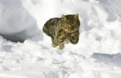 Konrad Wothe - House Cat male jumping in snow, Germany