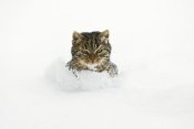 Konrad Wothe - House Cat in deep snow, Germany