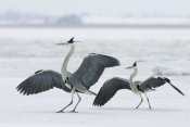 Konrad Wothe - Grey Heron pair in winter, Usedom, Germany