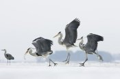 Konrad Wothe - Grey Heron trio fighting over fish, Usedom, Germany