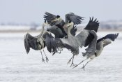 Konrad Wothe - Grey Heron group fighting, Usedom, Germany