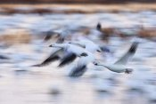 Konrad Wothe - Snow Goose flock flying over wetland, Bosque del Apache NWR, New Mexico