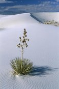 Konrad Wothe - Soaptree Yucca in gypsum dunes, White Sands National Monument, New Mexico