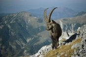 Konrad Wothe - Alpine Ibex male in the Swiss Alps, Europe