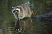 Konrad Wothe - Raccoon wading through shallow water, North America