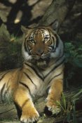 Konrad Wothe - Bengal Tiger portrait resting in shade, India