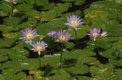 Konrad Wothe - Cape Blue Water-lily group blooming, Madagascar