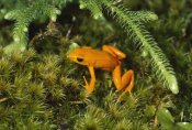 Konrad Wothe - Golden Mantella frog in underbrush, Madagascar