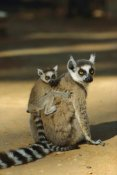 Konrad Wothe - Ring-tailed Lemur baby on mother's back,  Madagascar