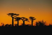 Konrad Wothe - Grandidier's Baobab trees and moon, Madagascar