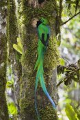 Konrad Wothe - Resplendent Quetzal male at nest, Costa Rica