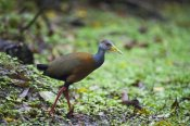 Konrad Wothe - Grey-necked Wood-rail , Braulio Carrillo National Park, Costa Rica