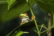 Konrad Wothe - Red-eyed Tree Frog on leaf, Costa Rica