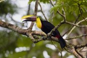Konrad Wothe - Chestnut-mandibled Toucan on branch, Costa Rica