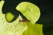 Konrad Wothe - Leafcutter Ant ant carrying freshly cut leaf, Costa Rica