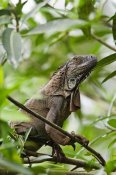 Konrad Wothe - Green Iguana on branches, Costa Rica