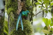 Konrad Wothe - Resplendent Quetzal male looking out of nest, Costa Rica