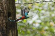 Konrad Wothe - Resplendent Quetzal male flying, Costa Rica