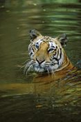 Konrad Wothe - Bengal Tiger in water, native to India