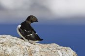 Konrad Wothe - Little Auk , Spitsbergen, Norway
