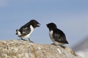 Konrad Wothe - Little Auk pair, Spitsbergen, Norway