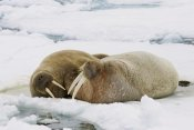 Konrad Wothe - Walrus male and female on ice floe, Svalbard, Norway