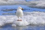 Konrad Wothe - Glaucous Gull on ice floe, Spitsbergen, Norway