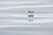 Konrad Wothe - Northern Fulmar flying low over water, Spitsbergen, Norway