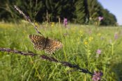 Konrad Wothe - False Heath Fritillary in blooming meadow, Bavaria, Germany