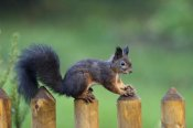 Konrad Wothe - Eurasian Red Squirrel on fence, Bavaria, Germany