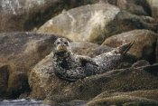Gerry Ellis - Harbor Seal resting on rock, Pacific coast, North America