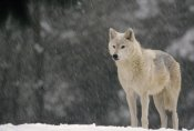 Gerry Ellis - Timber Wolf female portrait, temperate North America