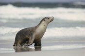 Gerry Ellis - Australian Sea Lion female coming ashore, Kangaroo Island, Australia