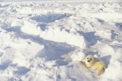 Gerry Ellis - Harp Seal pup, Gulf of St Lawrence, Canada