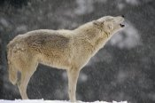Gerry Ellis - Timber Wolf female howling, North America