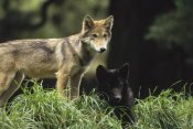 Gerry Ellis - Timber Wolf juveniles, four months old, temperate North America