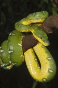 Gerry Ellis - Emerald Tree Boa hanging on tree branch, Amazonia