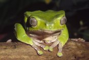 Gerry Ellis - Giant Monkey Frog close up, Venezuela, northern Brazil