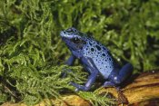 Gerry Ellis - Blue Poison Dart Frog, Sipaliwini savannah, Surinam