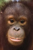 Gerry Ellis - Orangutan close-up portrait of juvenile, Borneo