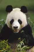 Gerry Ellis - Giant Panda feeding on bamboo, China