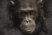 Gerry Ellis - Chimpanzee called Frodo in the rain, Gombe Stream National Park, Tanzania