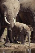 Gerry Ellis - African Elephants and baby drinking at watering hole, Amboseli NP, Kenya