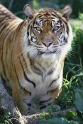 Gerry Ellis - Bengal Tiger portrait, Woodland Park Zoo