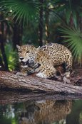 Gerry Ellis - Jaguar , Belize Zoo, Belize
