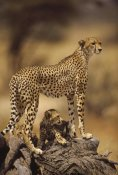 Gerry Ellis - Cheetah mother with adolescent, Samburu National Reserve, Kenya