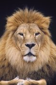 Gerry Ellis - African Lion male, portrait, Washington Park Zoo