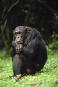 Gerry Ellis - Chimpanzee portrait, Gombe Stream National Park, Tanzania