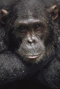 Gerry Ellis - Chimpanzee named Frodo covered with raindrops, Gombe Stream NP, Tanzania
